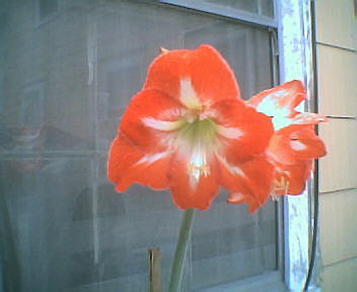 amaryllis1june2008.jpg